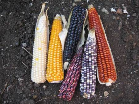 maiz-colores.jpg